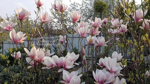 Магнолія Суланжа (Magnolia soulangeana) ФОТО Розплідник рослин Природа (12)