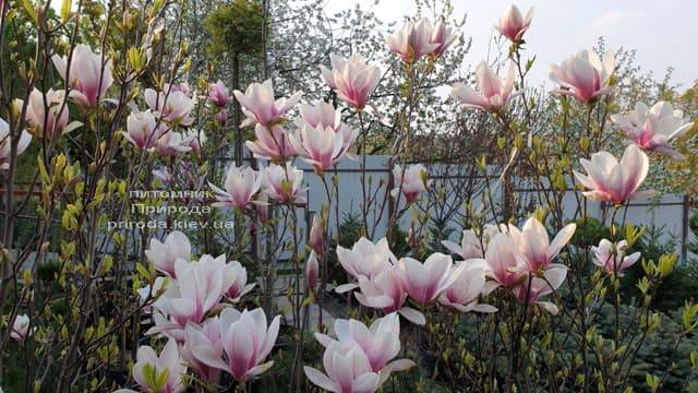 Магнолія Суланжа (Magnolia soulangeana) ФОТО Розплідник рослин Природа (13)