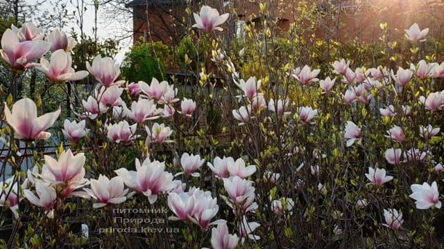Магнолія Суланжа (Magnolia soulangeana) ФОТО Розплідник рослин Природа (4)