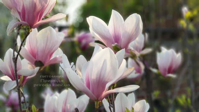 Магнолія Суланжа (Magnolia soulangeana) ФОТО Розплідник рослин Природа (6)
