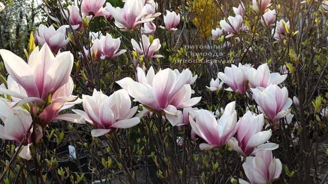 Магнолия Суланжа (Magnolia soulangeana) ФОТО Питомник растений Природа (7)