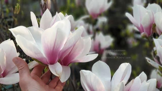 Магнолия Суланжа (Magnolia soulangeana) ФОТО Питомник растений Природа (8)