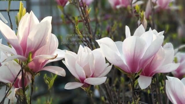 Магнолия Суланжа (Magnolia soulangeana) ФОТО Питомник растений Природа (9)