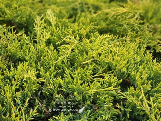 Можжевельник средний (пфитцериана) Голд Стар (Juniperus media pfitzeriana Gold Star) ФОТО Питомник растений Природа (5)
