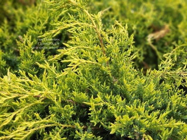 Можжевельник средний (пфитцериана) Голд Стар (Juniperus media pfitzeriana Gold Star) ФОТО Питомник растений Природа (6)