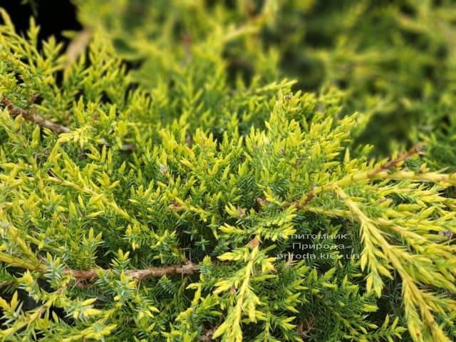 Можжевельник средний (пфитцериана) Голд Стар (Juniperus media pfitzeriana Gold Star) ФОТО Питомник растений Природа (7)