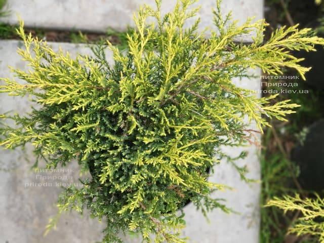 Можжевельник средний (пфитцериана) Голд Стар (Juniperus media pfitzeriana Gold Star) ФОТО Питомник растений Природа (9)