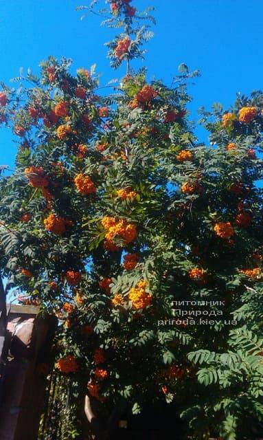 Горобина звичайна (Sorbus aucuparia) ФОТО Розплідник рослин Природа (1)