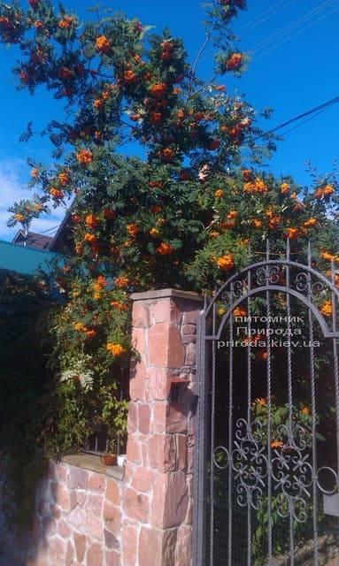 Рябина обыкновенная (Sorbus aucuparia) ФОТО Питомник растений Природа (2)