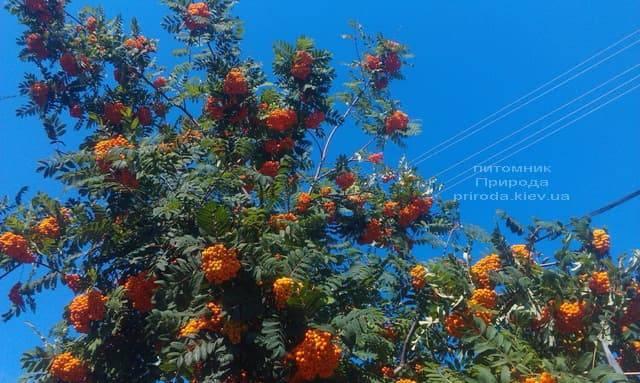 Рябина обыкновенная (Sorbus aucuparia) ФОТО Питомник растений Природа (3)