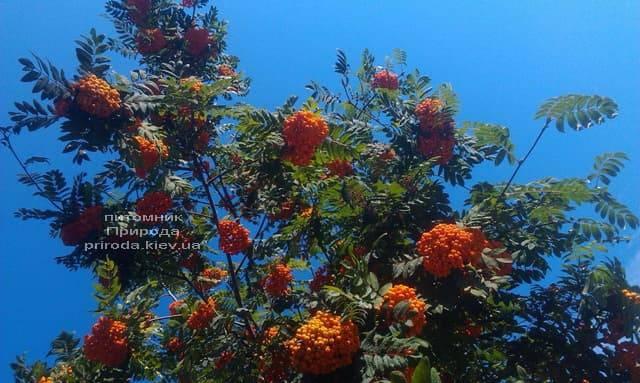 Горобина звичайна (Sorbus aucuparia) ФОТО Розплідник рослин Природа (4)