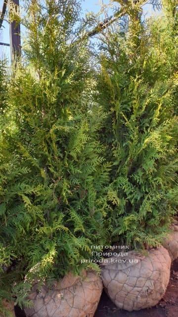 Туя западная Брабант (Thuja occidentalis Brabant) ФОТО Питомник растений Природа