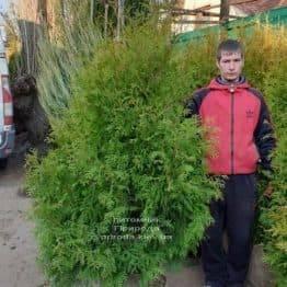 Туя западная Брабант (Thuja occidentalis Brabant) ФОТО Питомник растений Природа (59)