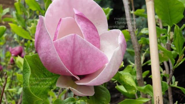 Магнолия Суланжа Амабилис (Magnolia soulangeana Amabilis) ФОТО Питомник растений Природа (6)