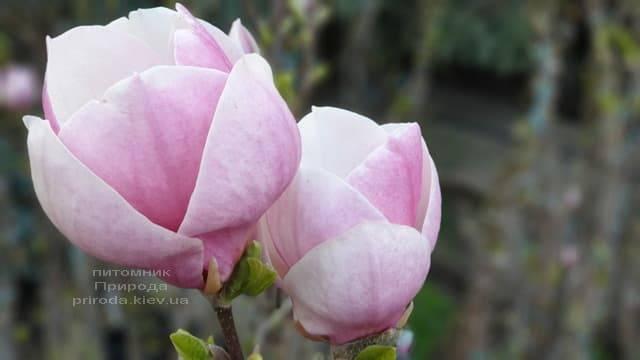 Магнолія Суланжа Ленней (Magnolia soulangeana Lennei) ФОТО Розплідник рослин Природа (4)