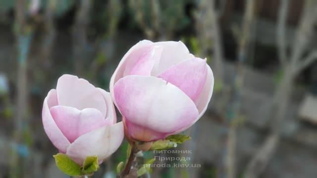 Магнолія Суланжа Ленней (Magnolia soulangeana Lennei) ФОТО Розплідник рослин Природа (5)