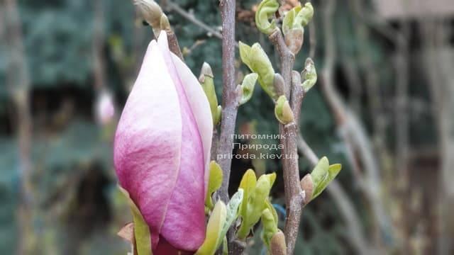Магнолія Суланжа Ленней (Magnolia soulangeana Lennei) ФОТО Розплідник рослин Природа (6)
