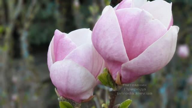 Магнолия Суланжа Ленней (Magnolia soulangeana Lennei) ФОТО Питомник растений Природа (8)