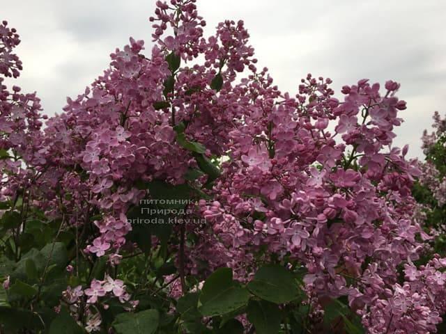 Сирень Маршал Фош (Syringa vulgaris Marchal Foch) ФОТО Питомник растений Природа (22)