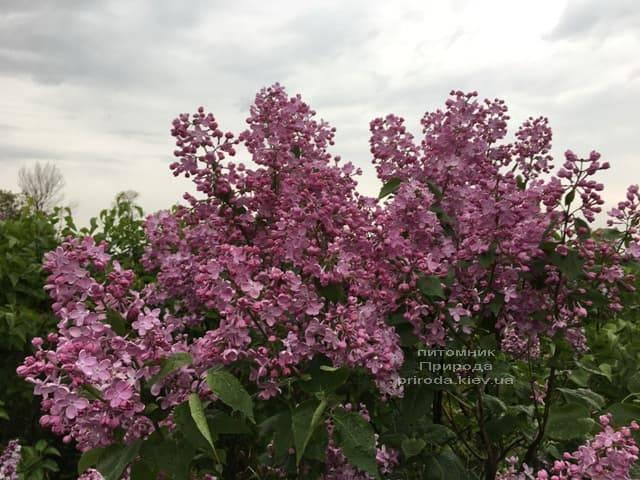 Сирень Маршал Фош (Syringa vulgaris Marchal Foch) ФОТО Питомник растений Природа (24)