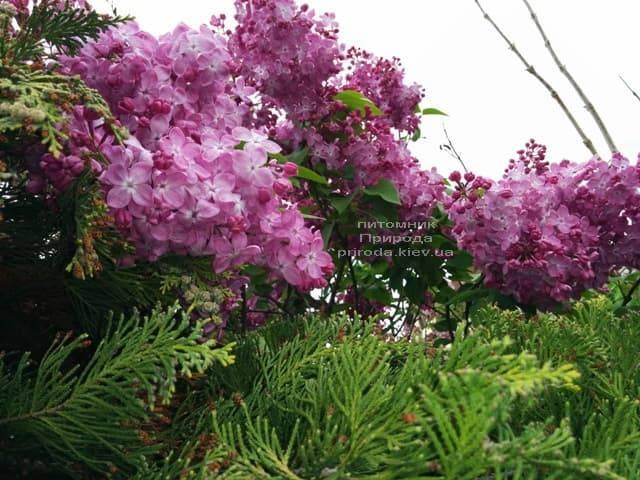 Сирень Маршал Фош (Syringa vulgaris Marchal Foch) ФОТО Питомник растений Природа (25)