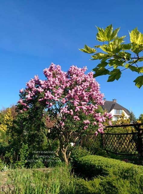 Сирень Маршал Фош (Syringa vulgaris Marchal Foch) ФОТО Питомник растений Природа (26)