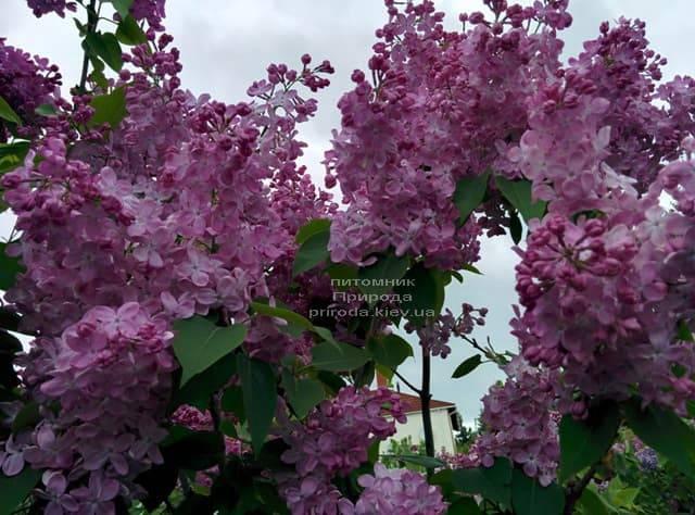 Сирень Маршал Фош (Syringa vulgaris Marchal Foch) ФОТО Питомник растений Природа (27)