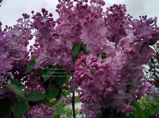Сирень Маршал Фош (Syringa vulgaris Marchal Foch) ФОТО Питомник растений Природа (28)