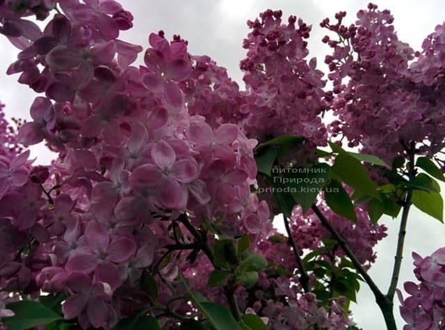 Сирень Маршал Фош (Syringa vulgaris Marchal Foch) ФОТО Питомник растений Природа (29)