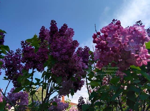Сирень Маршал Фош (Syringa vulgaris Marchal Foch) ФОТО Питомник растений Природа (30)