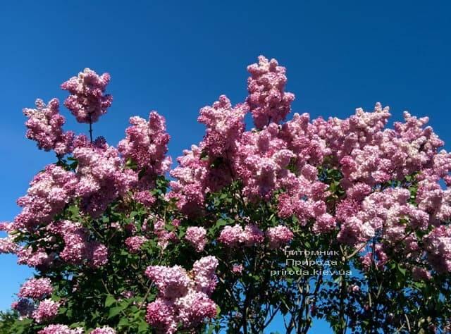 Сирень Маршал Фош (Syringa vulgaris Marchal Foch) ФОТО Питомник растений Природа (31)