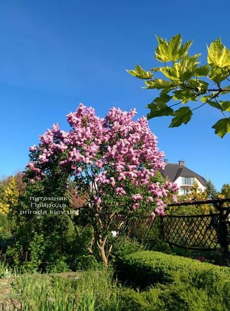 Сирень Маршал Фош (Syringa vulgaris Marchal Foch) ФОТО Питомник растений Природа (32)