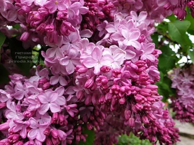Бузок Маршал Фош (Syringa vulgaris Marchal Foch) ФОТО Розплідник рослин Природа (33)