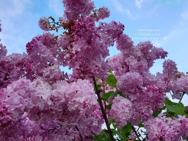 Бузок Маршал Фош (Syringa vulgaris Marchal Foch) ФОТО Розплідник рослин Природа (36)