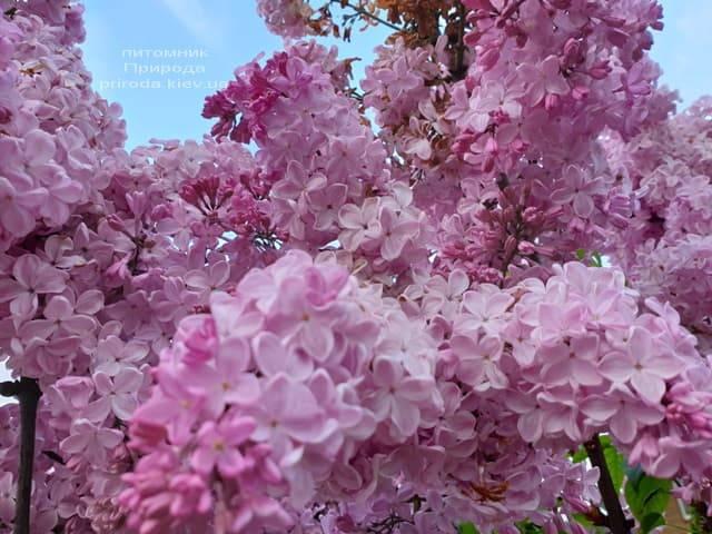 Бузок Маршал Фош (Syringa vulgaris Marchal Foch) ФОТО Розплідник рослин Природа (39)