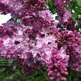 Сирень Маршал Фош (Syringa vulgaris Marchal Foch) ФОТО Питомник растений Природа (41)