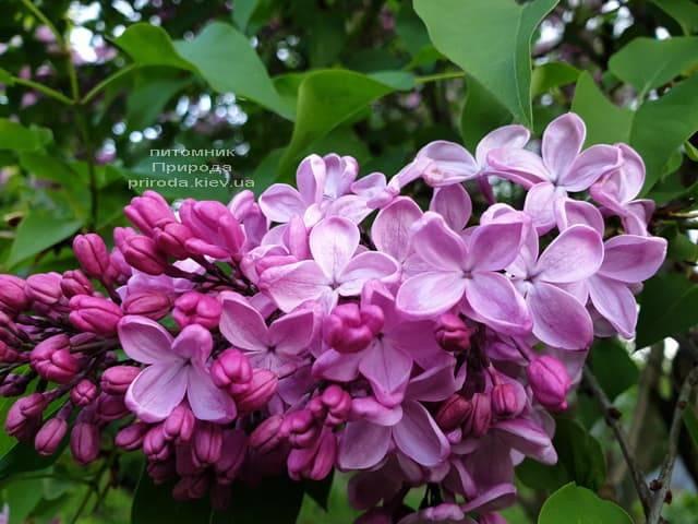 Бузок Маршал Фош (Syringa vulgaris Marchal Foch) ФОТО Розплідник рослин Природа (43)