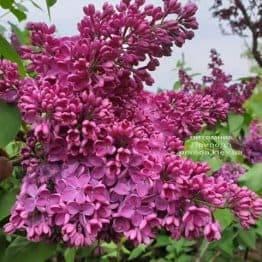 Сирень Знамя (Syringa vulgaris Znamja) ФОТО Питомник растений Природа (10)