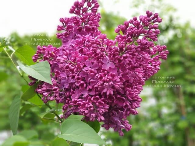 Сирень Знамя (Syringa vulgaris Znamja) ФОТО Питомник растений Природа (12)