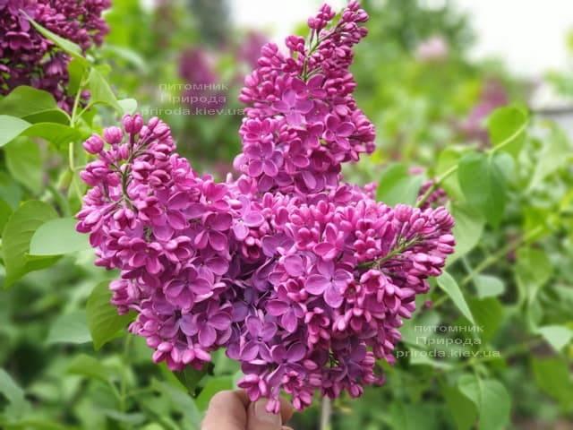 Сирень Знамя (Syringa vulgaris Znamja) ФОТО Питомник растений Природа (13)