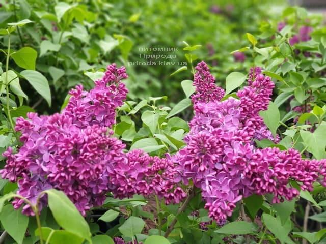 Сирень Знамя (Syringa vulgaris Znamja) ФОТО Питомник растений Природа (14)