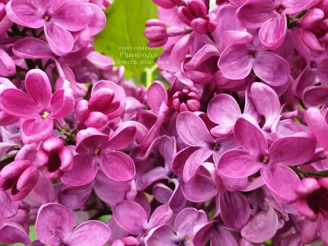 Сирень Знамя (Syringa vulgaris Znamja) ФОТО Питомник растений Природа (20)