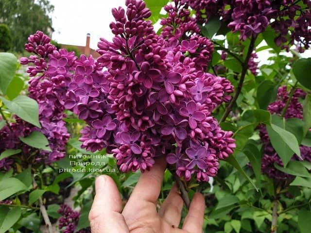 Сирень Знамя (Syringa vulgaris Znamja) ФОТО Питомник растений Природа (8)