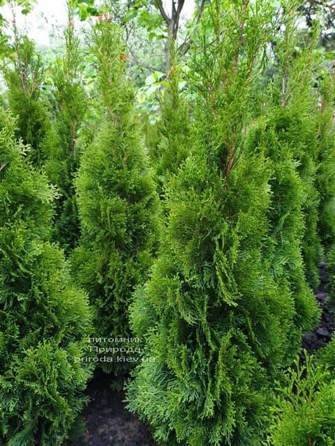 Туя западная Смарагд (Thuja occidentalis Smaragd) ФОТО Питомник растений Природа (70)