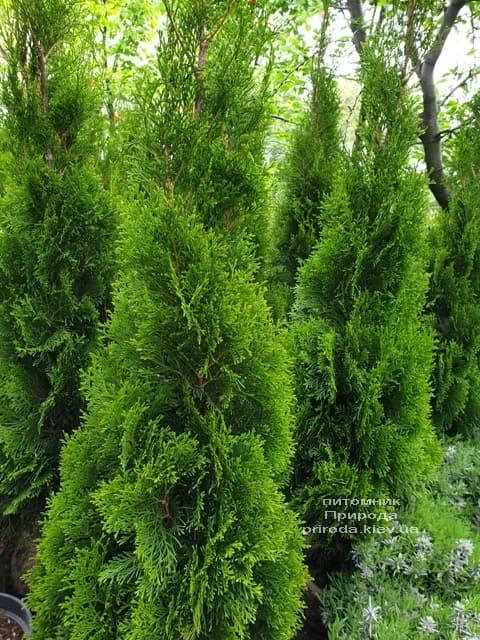 Туя западная Смарагд (Thuja occidentalis Smaragd) ФОТО Питомник растений Природа (71)