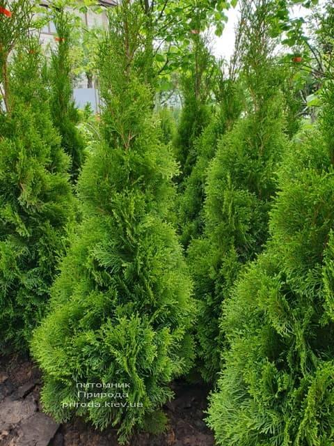Туя западная Смарагд (Thuja occidentalis Smaragd) ФОТО Питомник растений Природа (72)