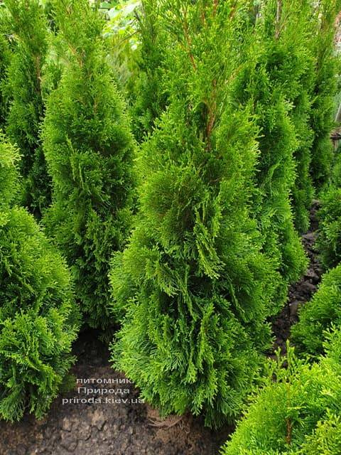 Туя западная Смарагд (Thuja occidentalis Smaragd) ФОТО Питомник растений Природа (73)