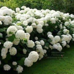 Гортензія деревоподібна Анабель (Hydrangea arborescens Anabelle) ФОТО Розплідник рослин Природа (1)