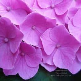 Гортензія крупнолистная Боденсі (Hydrangea macrophylla Bodensee) ФОТО Розплідник рослин Природа (15)