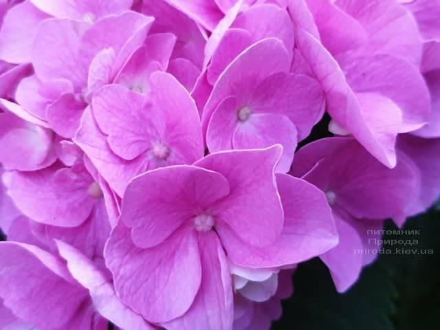 Гортензия крупнолистная Боденси (Hydrangea macrophylla Bodensee) ФОТО Питомник растений Природа (19)